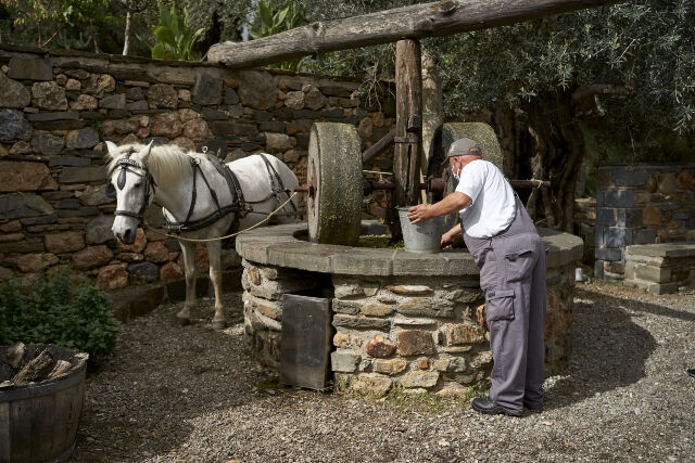Olive_oil_production_by_horse_powered_press